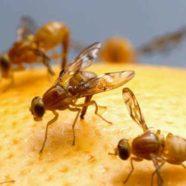 So geht's den Fruchtfliegen an den Kragen! 5 schnelle Tipps gegen Fruchtfliegen!
