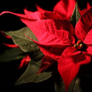 So bleiben Weihnachtssterne lange schön!