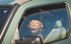 Was geht in Hunden vor, wenn sie bei der Hitze im Auto warten gelassen werden? Brief vom Hund an seinen Besitzer