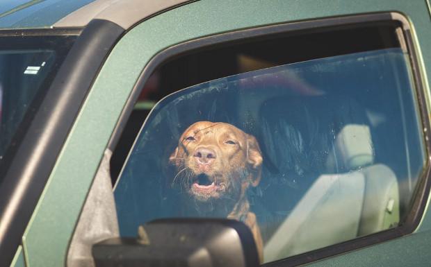 Was geht in Hunden vor, wenn sie bei der Hitze im Auto warten gelassen werden?